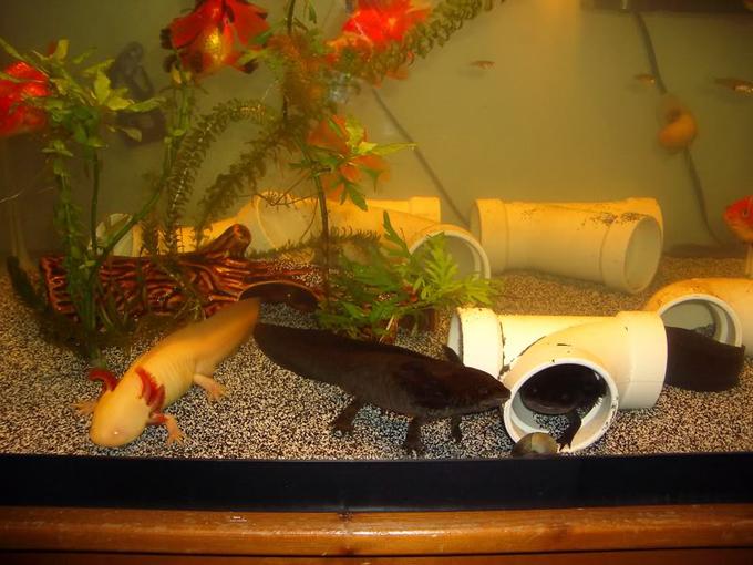 Decoration Aquarium Axolotl : Axolotl care guide advanced aquarium concepts