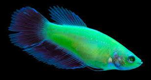 GloFish Betta New
