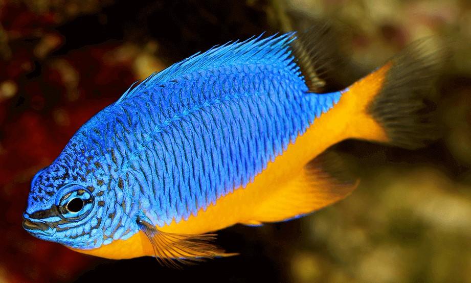 best damsel for a reef tank