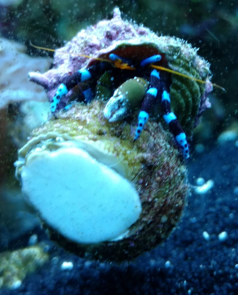 blue knuckle hermit crab care guide
