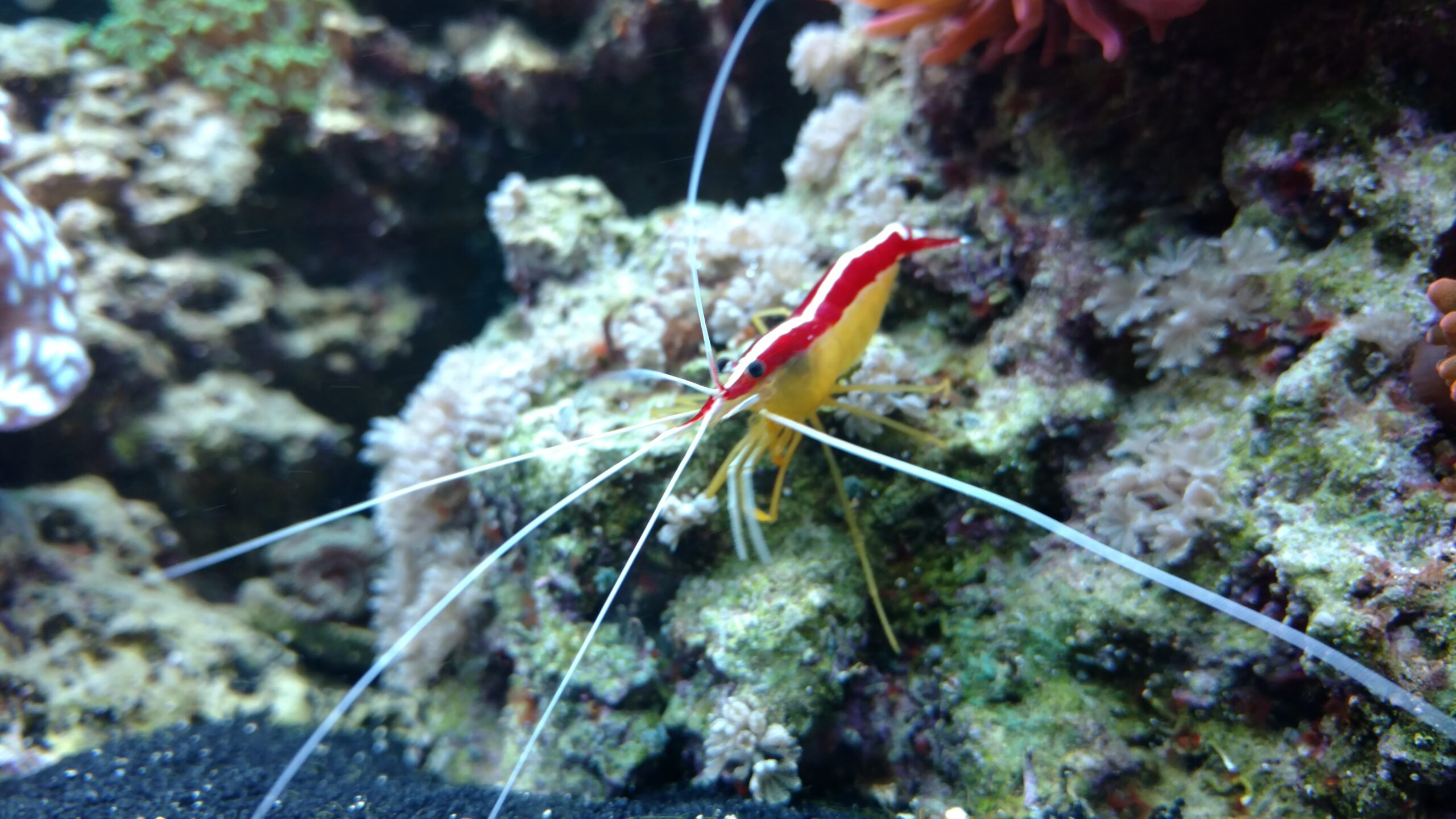 reef safe shrimp care guide