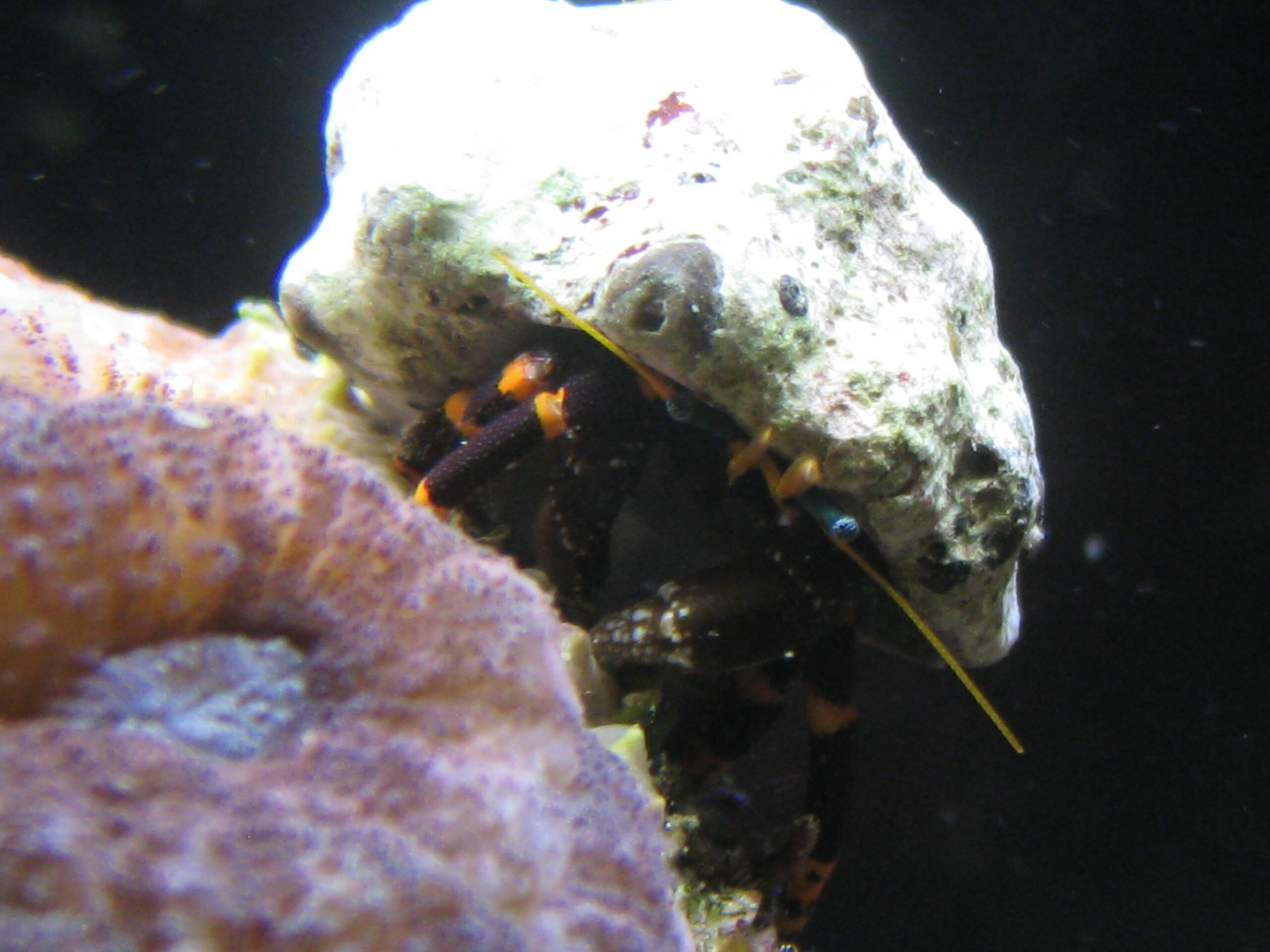 Best hermits for a reef tank