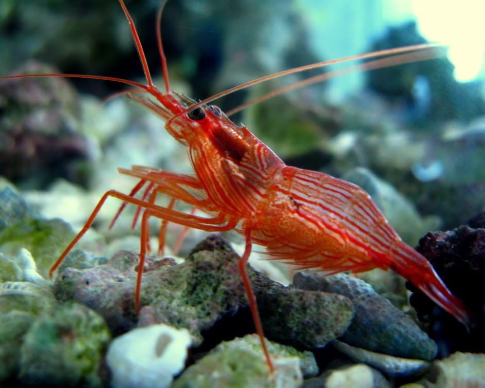 Which shrimp are reef safe