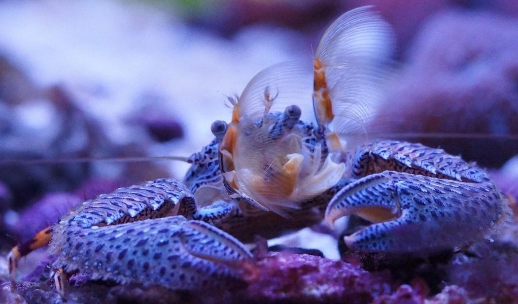 Porcelain crabs reef invertebrate