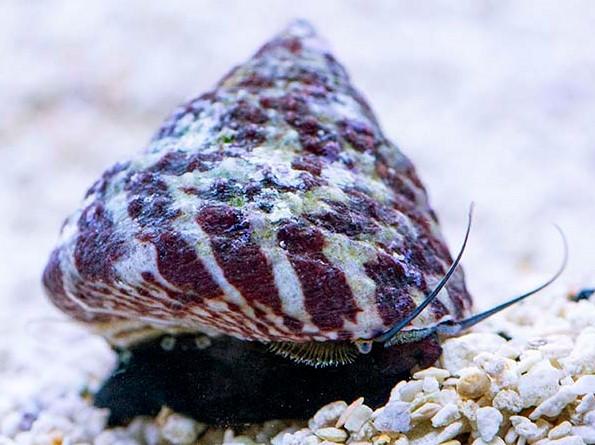 Best snail to eat algae in a reef tank