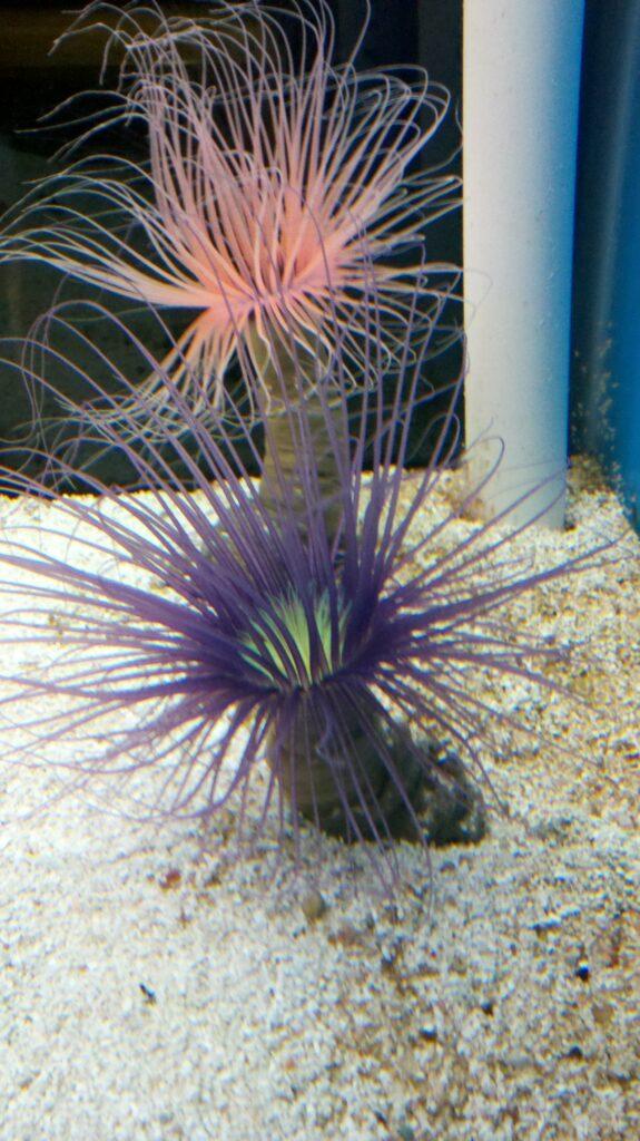 Tube anemone care guide