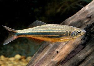 Best tankmates for goldfish 2017
