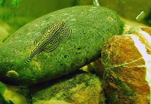 Best tankmates for fancy goldfish