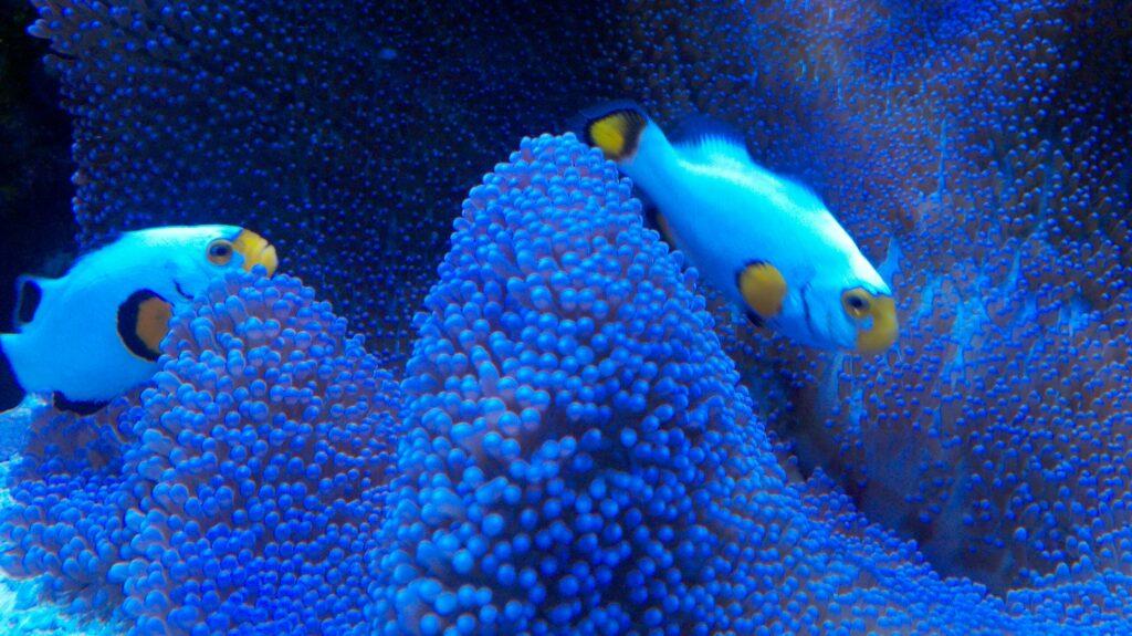 Best clownfish for a reef tank