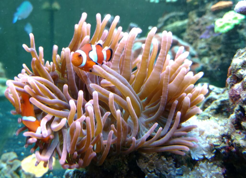 Clownfish for a Reef Aquarium