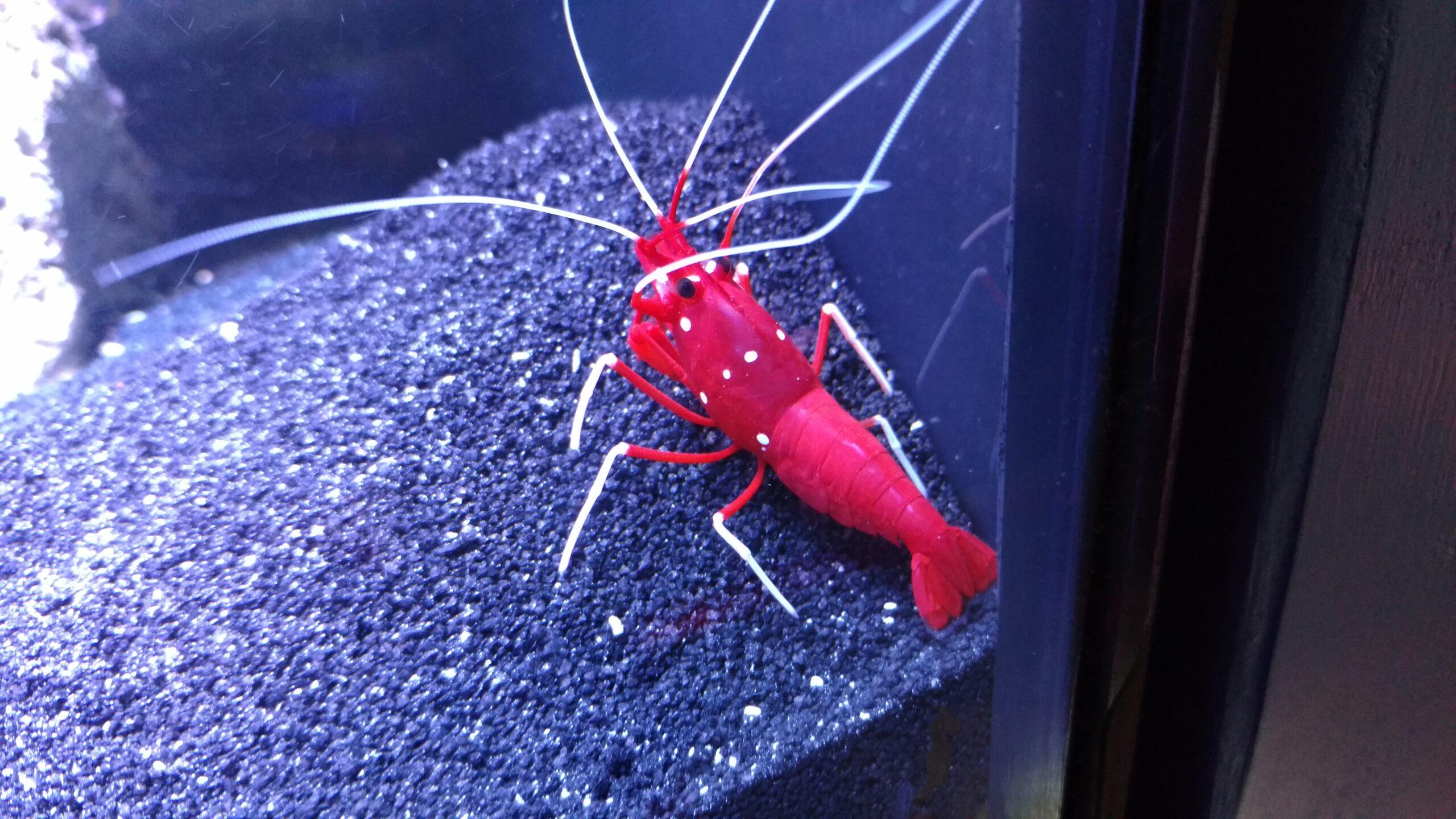 reefsafe shrimp