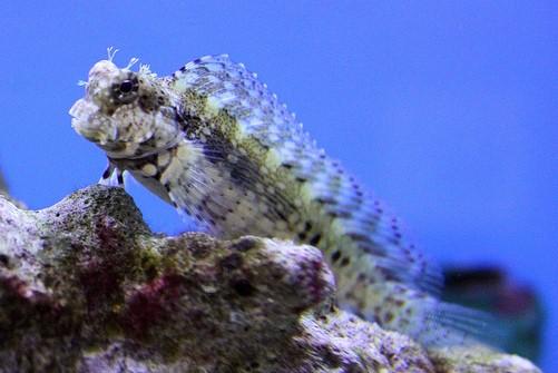Best fish to eat algae in a reef tank