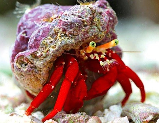 Best algae eating hermit crabs for a reef