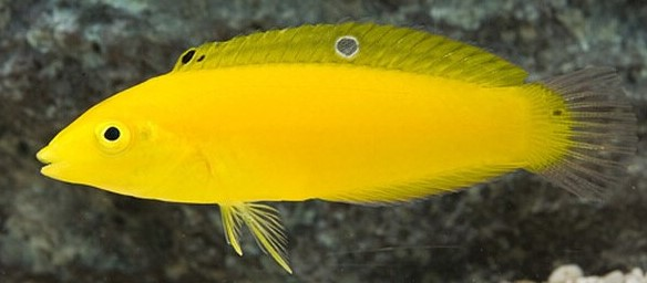 Best fish for a reef tank