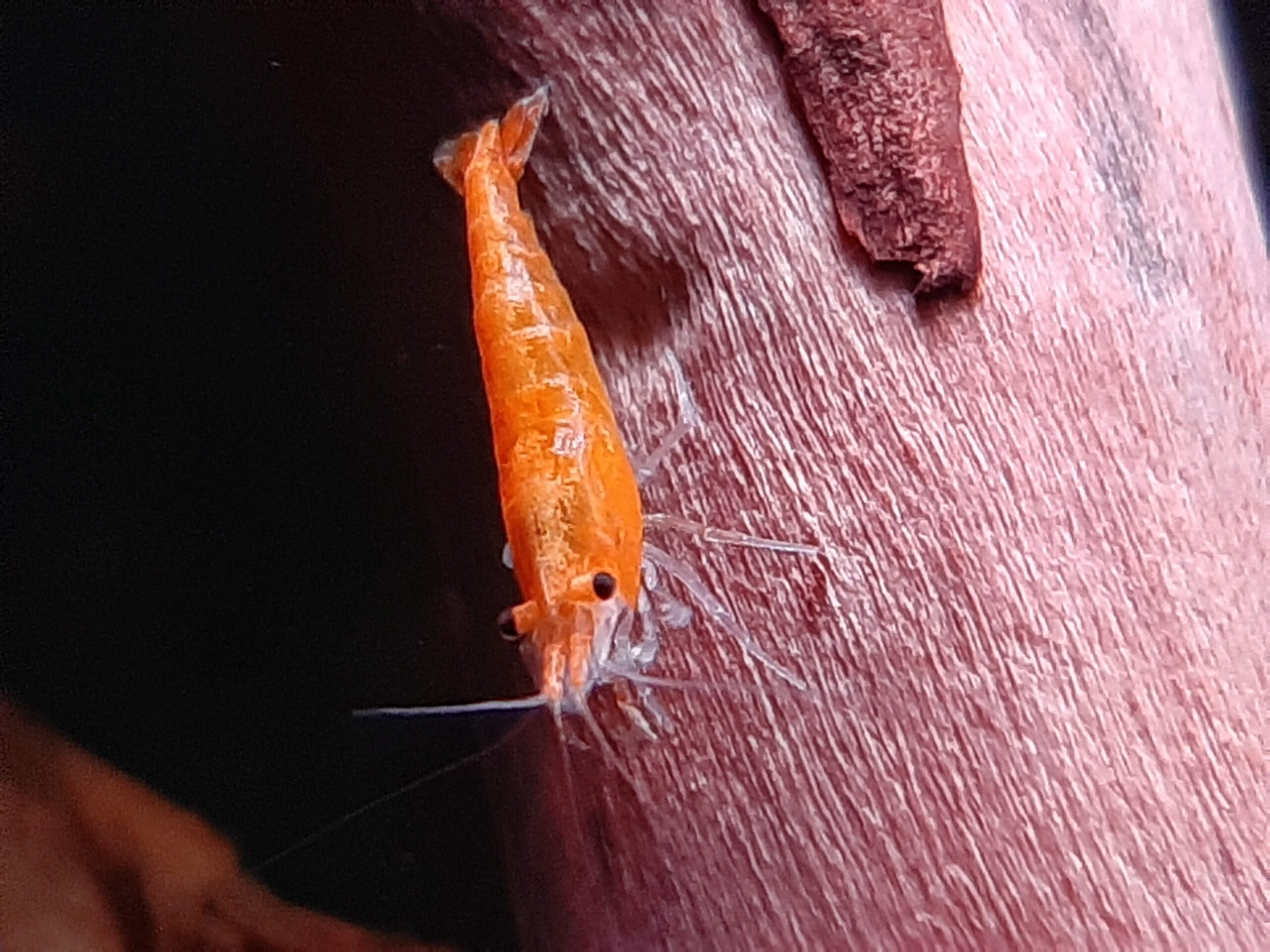 freshwater dwarf shrimp care