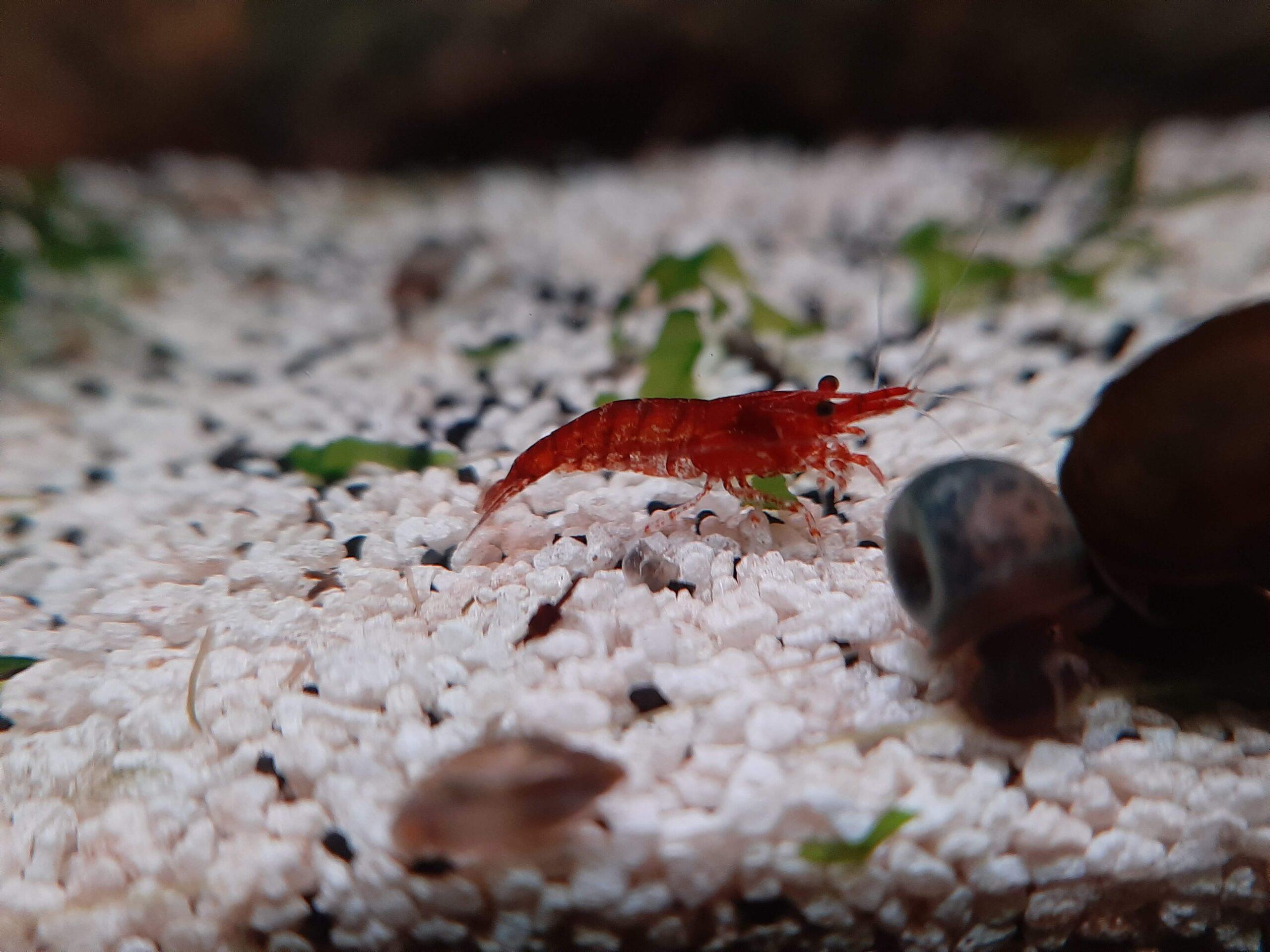 Breeding freshwater shrimp