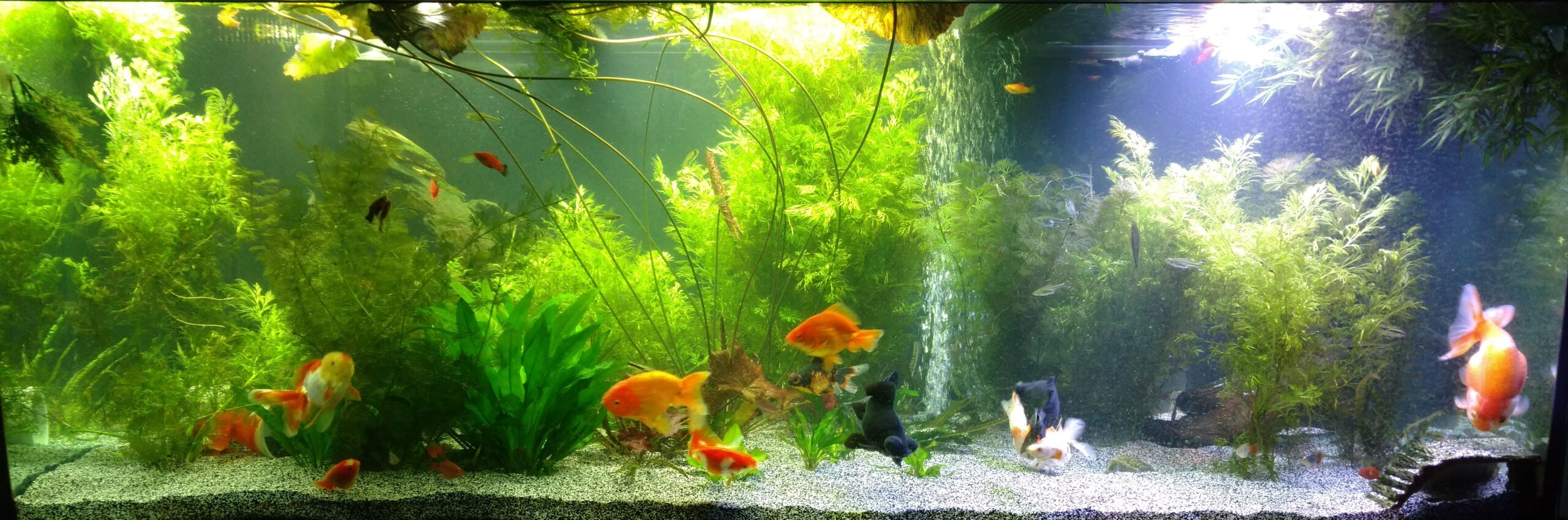 Best live plants for goldfish aquarium tanks