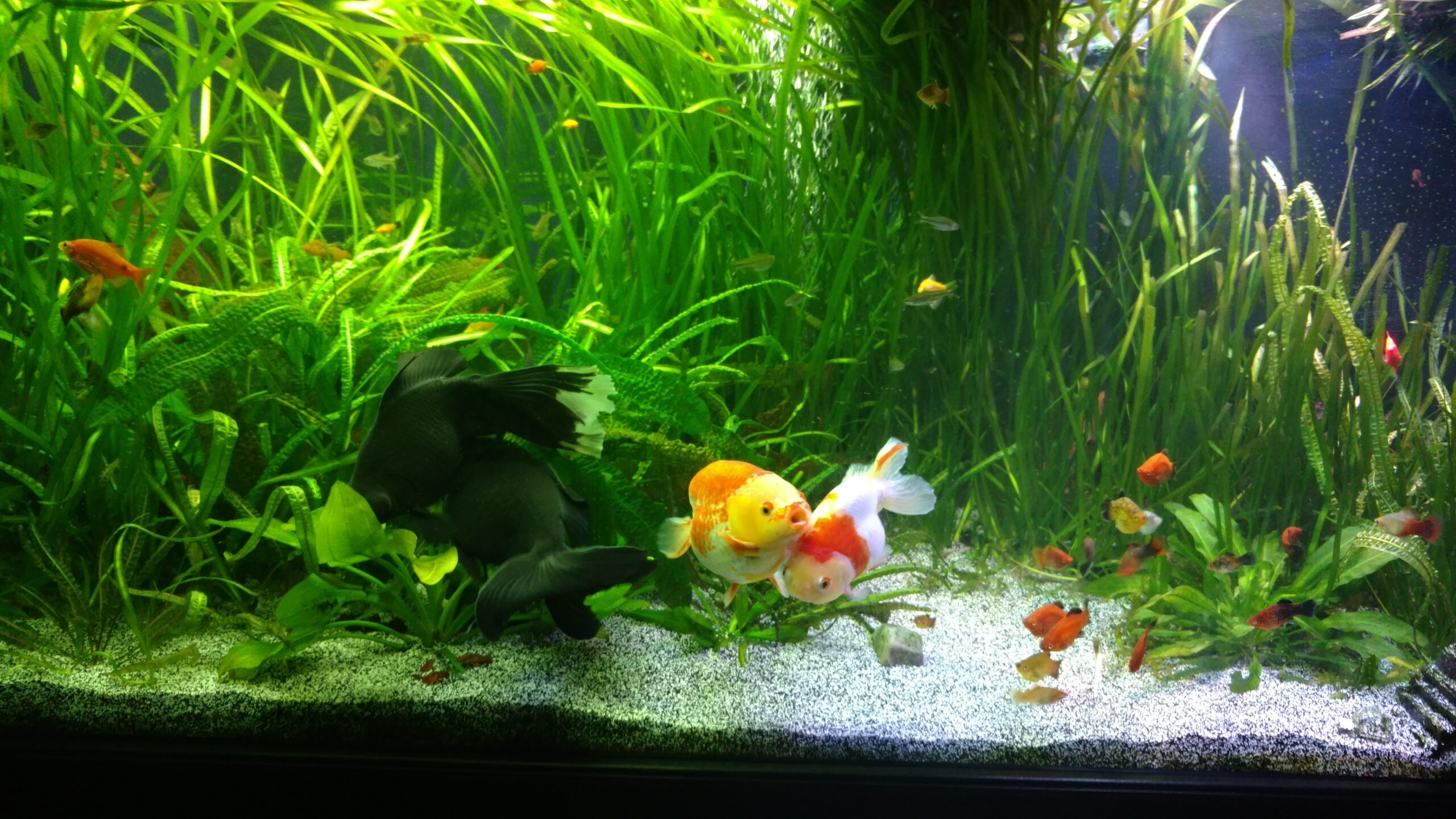 Planted goldfish tank