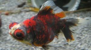 calico-telescope-goldfish-bg